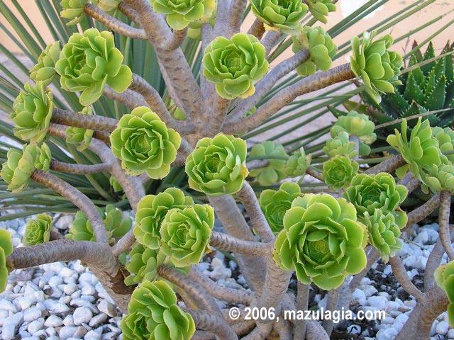 Aeonium en - Plantas de jardin nombres ...
